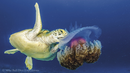 Meeresschildkröte beim Mittagessen