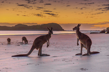 Kängurus am Strand, ©Tourism & Events Queensland