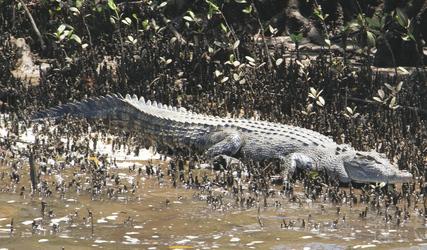 Krokodil am Johnstone River