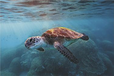 Neugierige Schildkröte, ©Tracy Olive