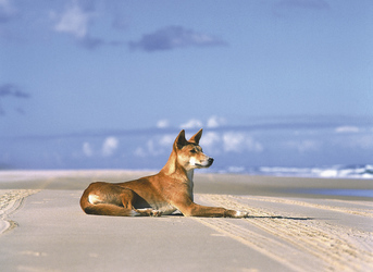 Dingo am 75 Mile Beach