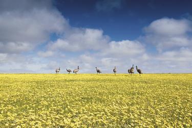 Emus ud Wildblumen ©Robert Lang, ©Robert Lang