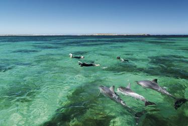 Schwimen mit Delfinen, Baird Bay