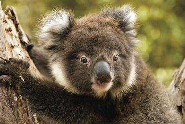Koala auf Kangaroo Island