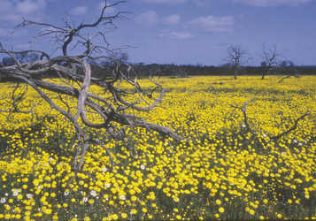 Wildblumenzeit Gawler Ranges