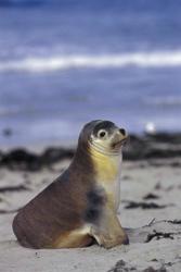 Seehund an der Seal Bay auf Kangaroo Island