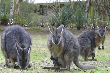 Wallabies auf Kangaroo Island