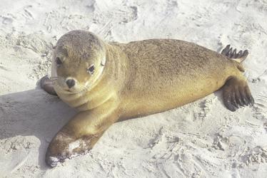 Seehund Junges an der Seal Bay
