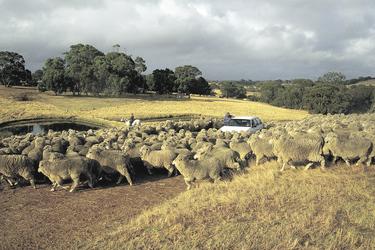 Schafzucht auf Kangaroo Island