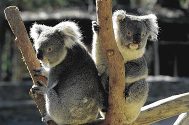 Neugierige Koalas
