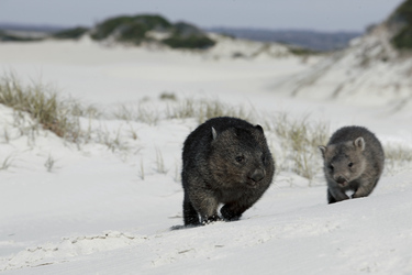 Wombats an den Friendly Beaches