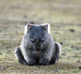 Wombat im Norden Tasmaniens