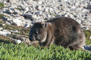Wombat unterwegs