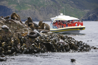 Seehunde vor Bruny Island