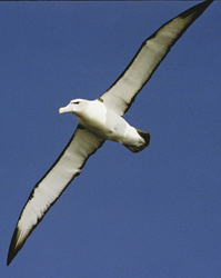 Albatross unterwegs