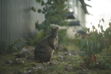Wallaby beim Hotel