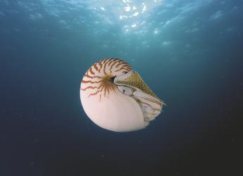 Perlboot Nautilus