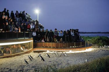 Pinguinparade, ©Warren Reed 0414 753 739