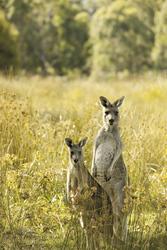Neugierige Kängurus ©Robert Blackburn