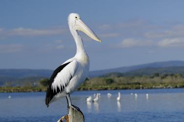 Pelikan in Mallacoota