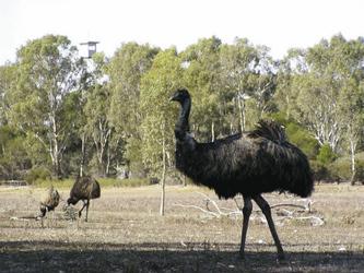 Strauße oder Emus?