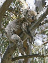 Sehr müder Koala
