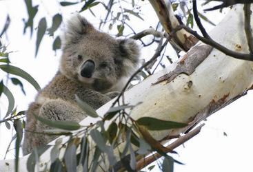 Hallo Mr. Koala