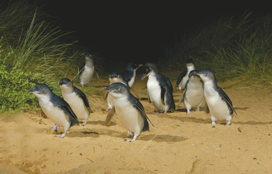 Pinguine im Phillip Island Nature Park