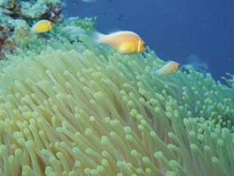Clownfische und ihre Annemonen