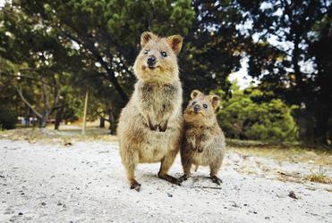 Quokkas auf Rottnest Island