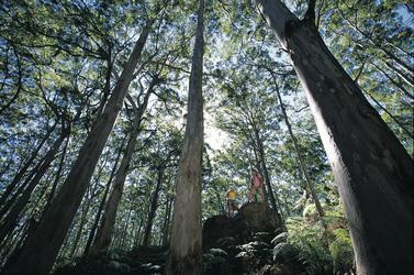 Riesige Eukalyptuswälder im Süden
