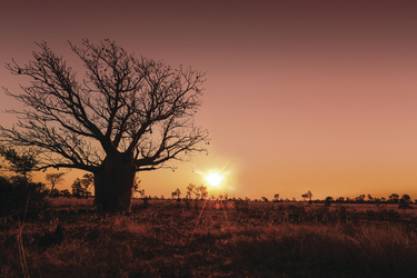Boab Tree , © Steve StrikenStock Library Photo from Outback Photographics NT ©nUnauthorised publication of this image is prohibited.nFor publication / reproduction rights please contact Steve Strike on +61 8 89523559 or email info@photoz.com.au