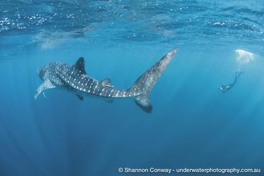 Schnorcheln mit dem Walhai , ©Shannon Conway