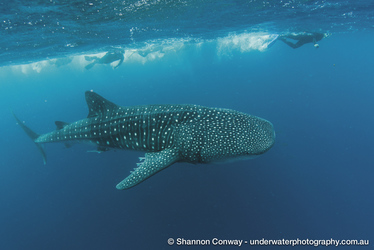 Schwimmen mit Wailhaien, ©Shannon Conway