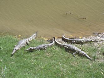Süßwasserkrokodile in der Windjana Gorge