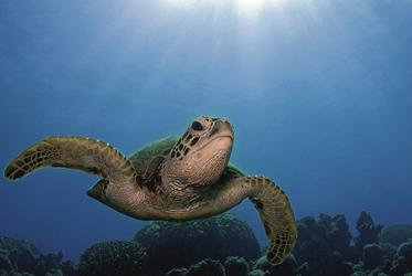 Meeresschildkröte ©Gary Brennand