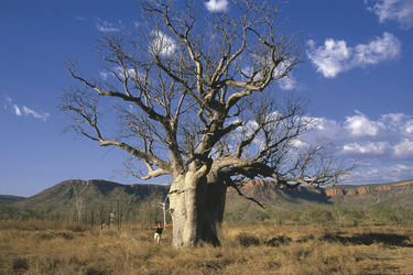 Boab Tree in der Kimberley Region
