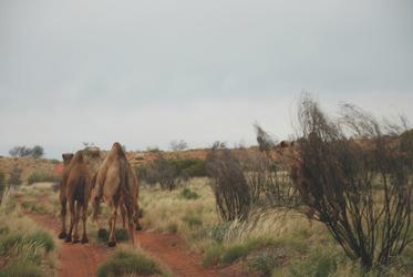 Wilde Kamele