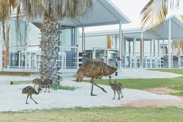 Emus zu Besuch