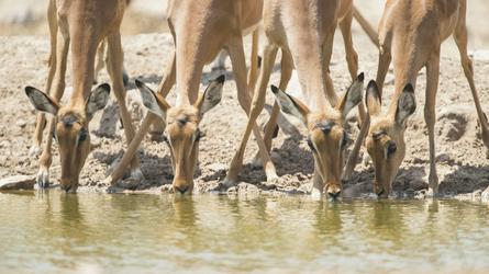 Trinkende Impalas im Kalahari Nationalpark