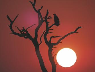 Fischadler im Sonnenuntergang