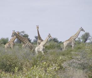 Giraffen im Kalahari Game Reserve