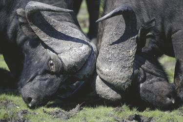 Büffel im Okavango Delta