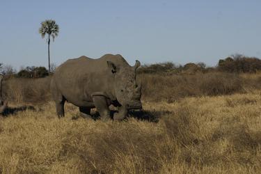 Nashorn im Moremi Game Reserve