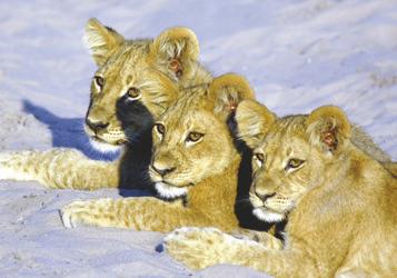 Drei Löwen im Moremi Game Reservat