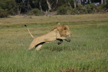 Löwe bei der Jagd im Okavangodelta