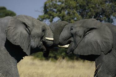 Zwei Elefanten beim Kämpfen