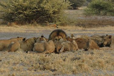 Löwen beim Fressen im Moremi Game Reservat