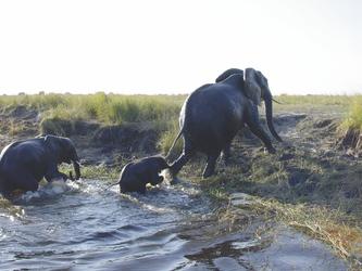 Elefanten am Chobe Fluss