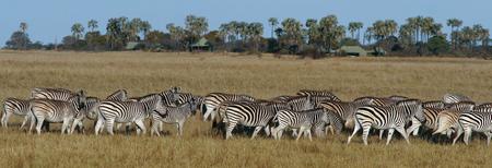 Zebraherde im Makgadikgadi Nationalpark